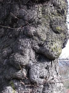 lumpy face-like tree trunk