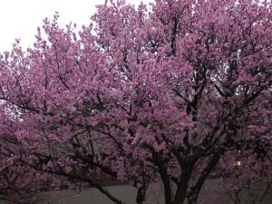 full cherry blossom tree